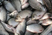 Полезные советы. Как правильно выбрать рыбу.