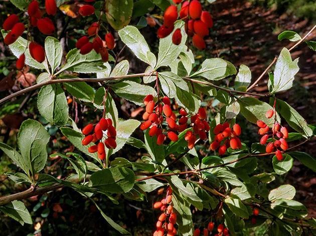 berberis6a vulgaris