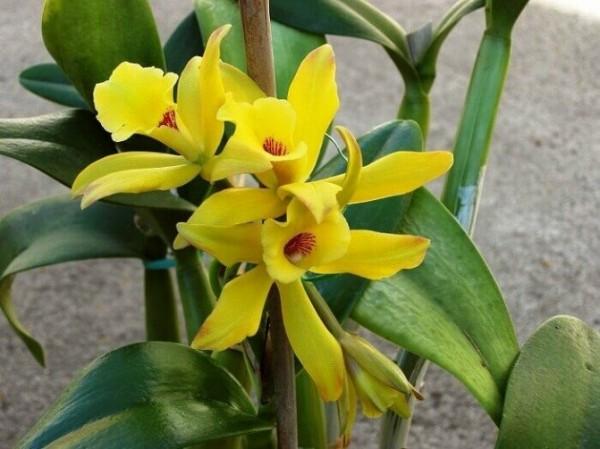 Ваниль – душистая орхидея