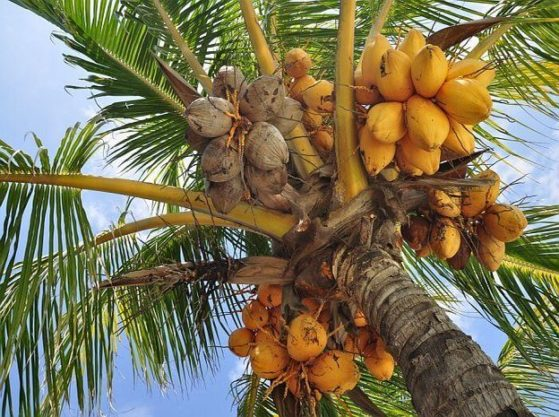 Кокос – это фрукт или ягода