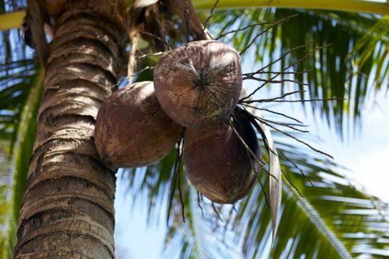 Коричневые кокосы