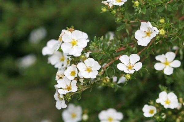Лапчатка белая. Лекарственное растение