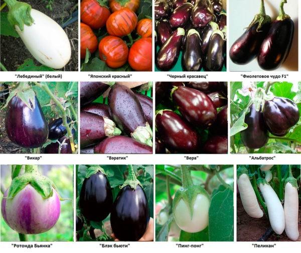Баклажаны - овощи долголетия