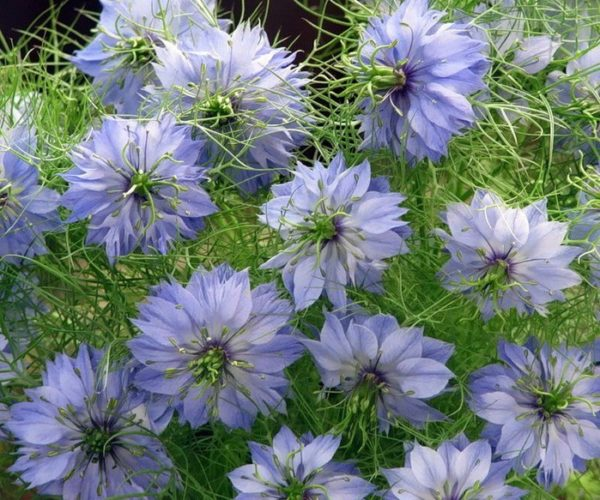 Цветы с названием нигелла