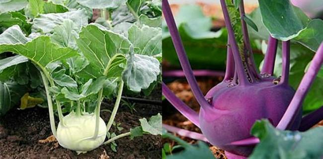 кольраби зеленая и фиолетовая